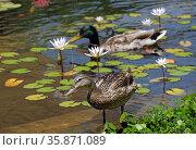 A duck and a drake swim in a small town pond. Стоковое фото, фотограф Irina Opachevsky / Фотобанк Лори