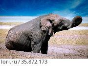 Elefant im Matsch, Etosha-Nationalpark, Namibia, (Loxodonta africana... Стоковое фото, фотограф Zoonar.com/WIBKE WOYKE / age Fotostock / Фотобанк Лори