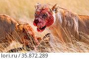 Löwin mit blutigem Gesich am Riss, Etosha-Nationalpark, Namibia, (... Стоковое фото, фотограф Zoonar.com/WIBKE WOYKE / age Fotostock / Фотобанк Лори