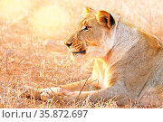 Löwin im Abendlicht, Kruger NP, Südafrika - lioness in the evening... Стоковое фото, фотограф Zoonar.com/WIBKE WOYKE / age Fotostock / Фотобанк Лори