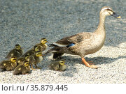 Spot-billed duck. Стоковое фото, агентство Ingram Publishing / Фотобанк Лори