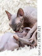 Mother Canadian Sphynx Cat carefully licks kitten with her tongue while feeding little cat with breast milk. Стоковое фото, фотограф А. А. Пирагис / Фотобанк Лори