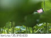 Pink lotus flower on a lake in China. Стоковое фото, агентство Ingram Publishing / Фотобанк Лори