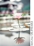 Close-up of pink lotus flower on a lake in China, reflection in the water . Стоковое фото, агентство Ingram Publishing / Фотобанк Лори