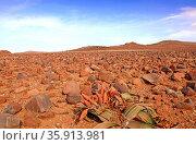 Welwitschia Mirabilis, weibliche Blütenstände, Landschaft Palmwag... Стоковое фото, фотограф Zoonar.com/W. Woyke / age Fotostock / Фотобанк Лори
