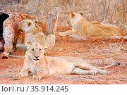 Löwinnen am Kadaver einer getöteten Giraffe, Südafrika - lionesses... Стоковое фото, фотограф Zoonar.com/WIBKE WOYKE / age Fotostock / Фотобанк Лори