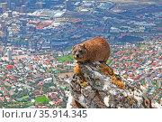 Klippschliefer, oben am Rand des Tafelbergs, blickt hinab auf das... Стоковое фото, фотограф Zoonar.com/Wibke Woyke / age Fotostock / Фотобанк Лори