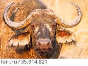 Kaffernbüffel mit Matsch im Sonnenlicht im Kruger Nationalpark, Südafrika... Стоковое фото, фотограф Zoonar.com/WIBKE WOYKE / age Fotostock / Фотобанк Лори