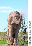 Elefant wirft mit Dreck, Etosha, Namibia, african elephant throws... Стоковое фото, фотограф Zoonar.com/W. Woyke / age Fotostock / Фотобанк Лори