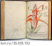 Facsimile of ink, pencil and watercolour sketch tilted 'Aloe Americana' by Georg Dionysius Ehret. Редакционное фото, агентство World History Archive / Фотобанк Лори