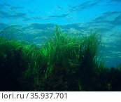 Seagrass. Редакционное фото, агентство World History Archive / Фотобанк Лори