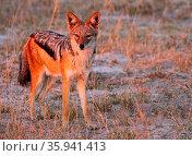 Schabrackenschakal im frühen Morgenlicht, Moremi Wildreservat Botswana... Стоковое фото, фотограф Zoonar.com/Wibke Woyke / age Fotostock / Фотобанк Лори
