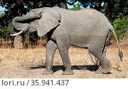 Elefant kratzt sich am Ohr, South Luangwa Nationalpark, Sambia, Loxodonta... Стоковое фото, фотограф Zoonar.com/W. Woyke / age Fotostock / Фотобанк Лори