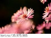 Starburst Ice Plant, Delosperma floribunda, in garden. Стоковое фото, фотограф Zoonar.com/Petr Svoboda / easy Fotostock / Фотобанк Лори