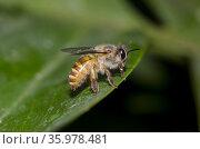 Honey Bee (Apis sp), Klungkung, Bali, Indonesia. Стоковое фото, фотограф Colin Marshall / age Fotostock / Фотобанк Лори