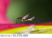 Mating Banana-stalk Flies (Telostylinus lineolatus) on Crane Flower... Стоковое фото, фотограф Colin Marshall / age Fotostock / Фотобанк Лори