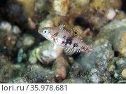 Juvenile Checkerboard Wrasse (Halichoeres hortulanus), Sedam dive... Стоковое фото, фотограф Colin Marshall / age Fotostock / Фотобанк Лори