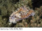 Girdled Glossodoris Nudibranch (Glossodoris cincta), Rhino City dive... Стоковое фото, фотограф Colin Marshall / age Fotostock / Фотобанк Лори
