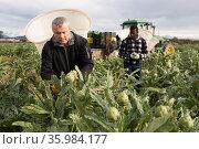Workman gathering in crops of artichokes. Стоковое фото, фотограф Яков Филимонов / Фотобанк Лори