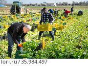 Farm worker arranging harvested celery in crates. Стоковое фото, фотограф Яков Филимонов / Фотобанк Лори