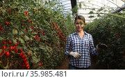 Experienced farm workwoman gathering crop of organic grape tomatoes in hothouse. Summer harvest time. Стоковое видео, видеограф Яков Филимонов / Фотобанк Лори