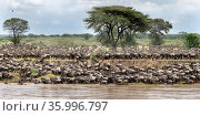 Herds of white-bearded wildebeest (Connochaetes taurinus albojubatus... Редакционное фото, фотограф Nick Garbutt / Nature Picture Library / Фотобанк Лори