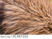 Close up of reddish feathers, Haast tokoeke kiwi /Tokoeka (Apteryx australis) Department of Conservation Kiwi Rearing, West Coast, New Zealand. February. Стоковое фото, фотограф Tui De Roy / Nature Picture Library / Фотобанк Лори
