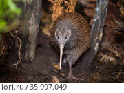 Brown kiwi (Apteryx mantelli) in nocturnal kiwi house with reversed daylight cycle, Orana Wildlife Park, Christchurch, New Zealand. February. Стоковое фото, фотограф Tui De Roy / Nature Picture Library / Фотобанк Лори
