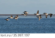 Brent Geese (Branta bernicla) flock flying low over the sea. Holy Island / Lindisfarne, Northumberland, England, UK. November. Стоковое фото, фотограф Roger Powell / Nature Picture Library / Фотобанк Лори