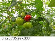Still green, unripe, young tomato fruits affected by blossom end rot. This physiological disorder in tomato, caused by calcium deficiency. Стоковое фото, фотограф Ольга Сейфутдинова / Фотобанк Лори