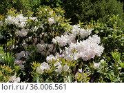 Куст рододендрона с белыми цветами (Rhododendron). Москва. Ботанический сад на Воробьевых горах. Стоковое фото, фотограф Илюхина Наталья / Фотобанк Лори