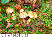 Forest edible mushrooms on the green grass. Стоковое фото, фотограф Zoonar.com/Alexander Blinov / easy Fotostock / Фотобанк Лори