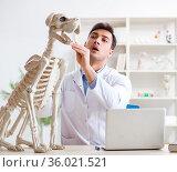 Doctor vet practicing on dog skeleton. Стоковое фото, фотограф Elnur / Фотобанк Лори