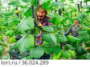 woman and man harvesting crops in greenhouse. Стоковое фото, фотограф Яков Филимонов / Фотобанк Лори