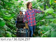 german farmers picking crops of cucumber in hothouse. Стоковое фото, фотограф Яков Филимонов / Фотобанк Лори