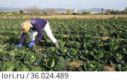 Busy african american farmer gathering crop of savoy cabbage on farm field. Concept of agricultural activity and growing organic vegetables. Стоковое видео, видеограф Яков Филимонов / Фотобанк Лори