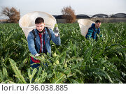 Young worker gathering in crops of artichokes. Стоковое фото, фотограф Яков Филимонов / Фотобанк Лори