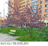 Яблоня Недзвецкого (Malus niedzwetzkyana) в цвету. Редакционное фото, фотограф Мария Кылосова / Фотобанк Лори