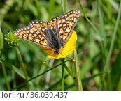 Marsh fritillary butterfly (Euphydryas aurinia) nectaring on a Meadow buttercup (Ranunculus acris) flower in a chalk grassland meadow, Wiltshire, UK, May. Стоковое фото, фотограф Nick Upton / Nature Picture Library / Фотобанк Лори