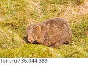 Common wombat in the Cradle Mountain-Lake St Clair National Park ... Стоковое фото, фотограф Zoonar.com/Laszlo Konya / easy Fotostock / Фотобанк Лори
