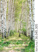 Ecology. Birch grove in summer on a sunny day in nice warm weather. Стоковое фото, фотограф Светлана Евграфова / Фотобанк Лори