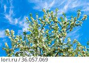 Ветви яблони, усыпанные белыми цветами. На фоне голубого неба с белыми облаками. Весенний солнечный день. Стоковое фото, фотограф E. O. / Фотобанк Лори