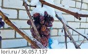 Заснеженная ветка винограда крупным планом. Стоковое фото, фотограф Андрей Атрощенко / Фотобанк Лори