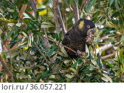Yellow-tailed black cockatoo (Calyptorhynchus funereus) in a banksia tree (Banksia sp.) eating a seed pod. Marengo, Victoria, Australia. November 2020. Стоковое фото, фотограф Doug Gimesy / Nature Picture Library / Фотобанк Лори