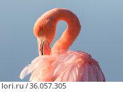 American flamingo (Phoenicopterus ruber), Isabela Island, Galapagos/ Стоковое фото, фотограф Maxime Aliaga / Nature Picture Library / Фотобанк Лори