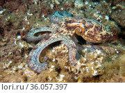 Common octopus (Octopus vulgaris) on sea floor, Tenerife, Canary Islands... Стоковое фото, фотограф Sergio Hanquet / Nature Picture Library / Фотобанк Лори