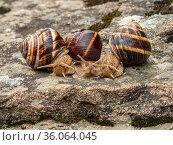 Группа виноградных улиток, или эскарго (Helix pomatia), на камне. Group of Edible snails or escargot (Helix pomatia) on a rock. Стоковое фото, фотограф Евгений Романов / Фотобанк Лори
