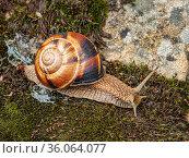 Виноградная улитка, или эскарго (Helix pomatia), ползёт по мху. Edible snail or escargot (Helix pomatia) crawls on the moss. Стоковое фото, фотограф Евгений Романов / Фотобанк Лори