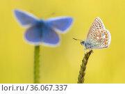 Common blue butterflies (Polyommatus icarus) resting on grasses, Vealand Farm, Devon, UK. June. Стоковое фото, фотограф Ross Hoddinott / Nature Picture Library / Фотобанк Лори