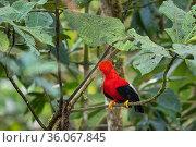 Andean cock of the rock (Rupicola peruvianus) male perched on branch, Mindo, Pichincha, Ecuador. Стоковое фото, фотограф Karine Aigner / Nature Picture Library / Фотобанк Лори